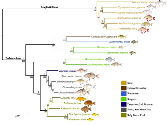 embiotocid_RADseq_phylogeny